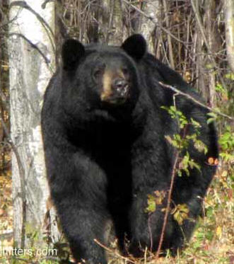 Guided Black bear hunting Manitoba